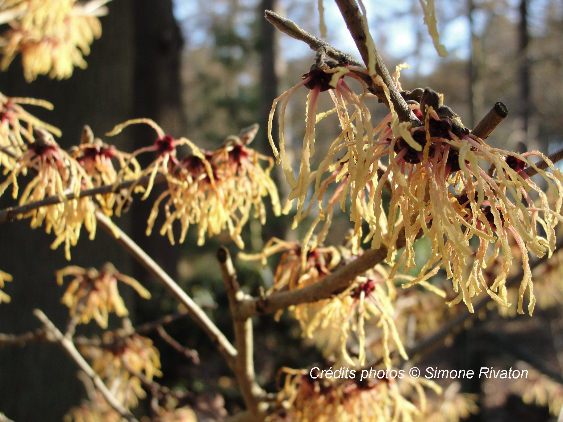 hamamelis x intermedia spanish spider 1.jpg