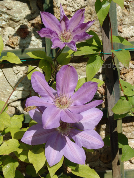 clematis lawsoniana 2