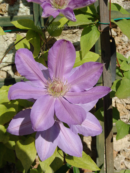 clematis lawsoniana 3