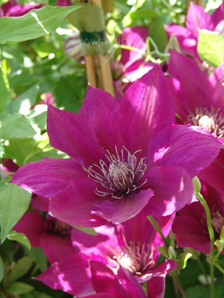 clematis picardy 1
