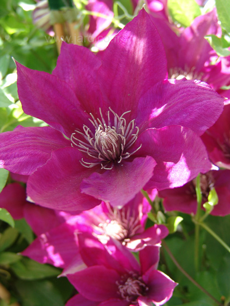 clematis picardy 2