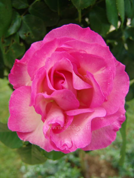 delbard bordure rose